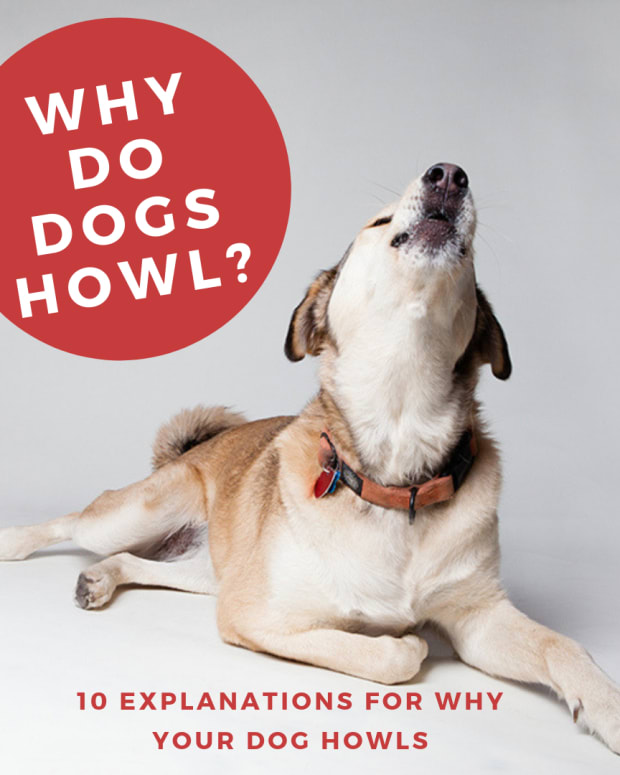 why-do-dogs-howl-at-night