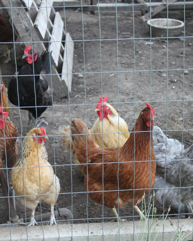 a-guide-to-keeping-chickens-in-confinement