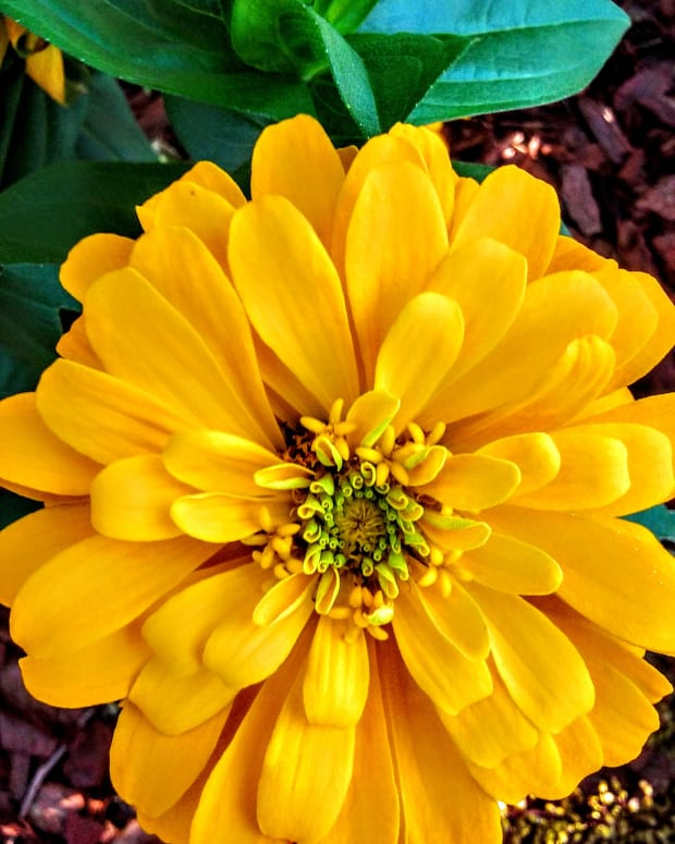 my-summer-zinnias