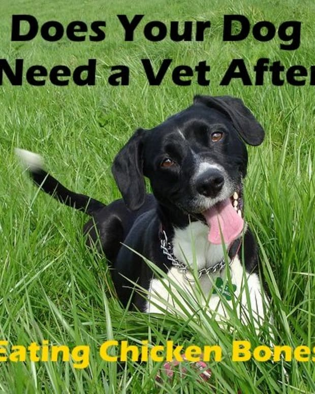 dog-that-ate-chicken-bone-does-not-need-vet