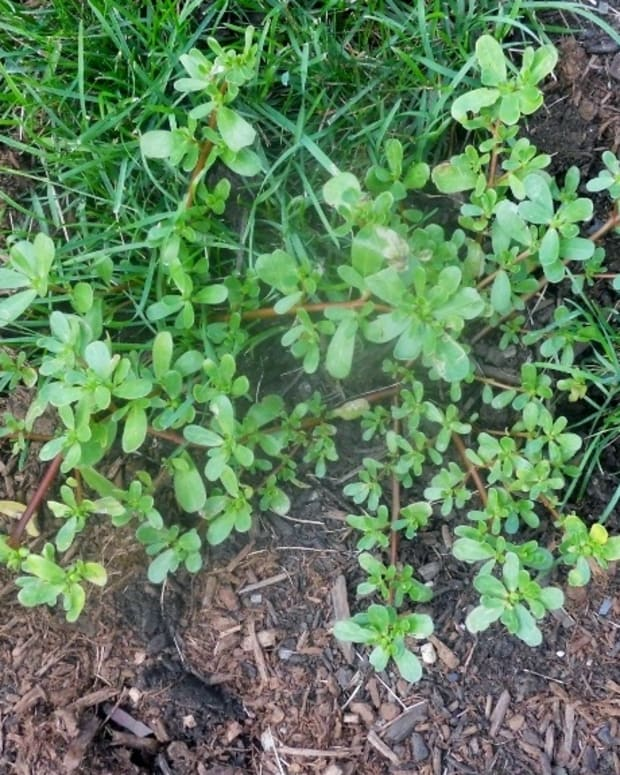 purslane-the-delicious-edible-weed