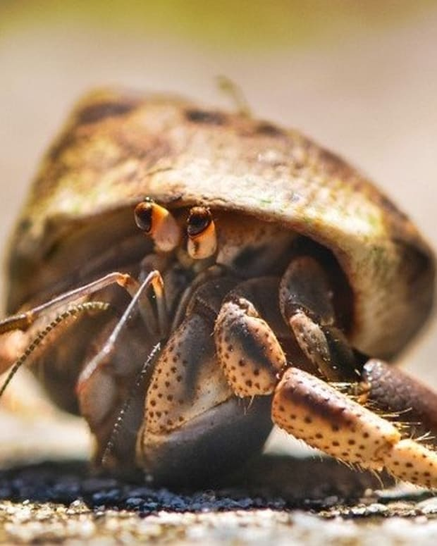 hermit-crab-care-myths