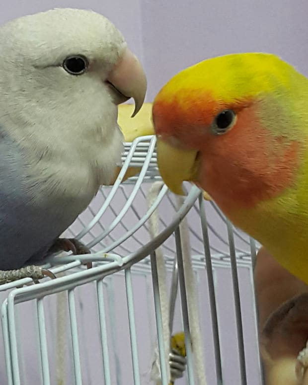 the-untold-story-of-lovebird-mates
