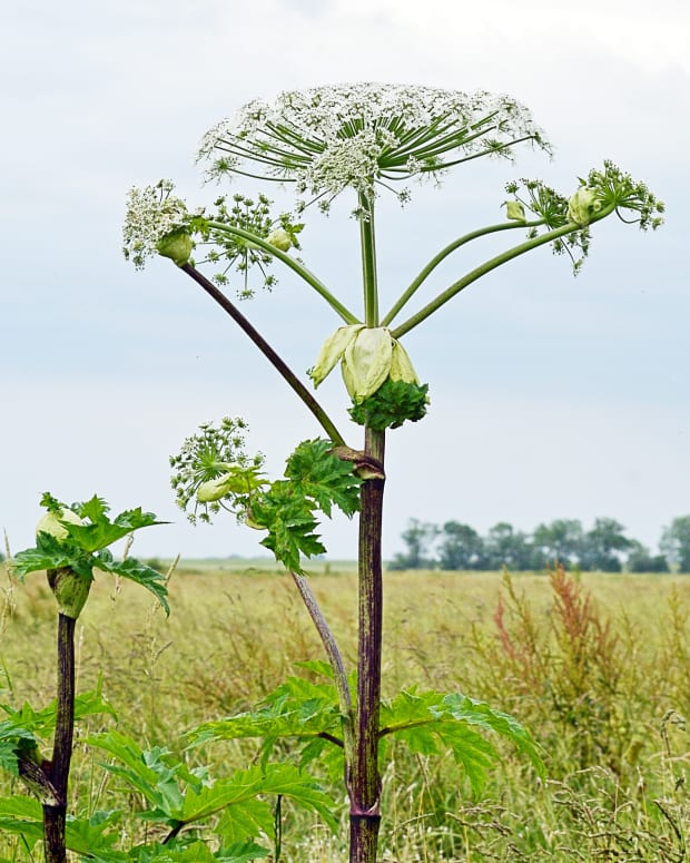 giant-hogweed-and-grapefruit-juice-furanocoumarins-in-plants