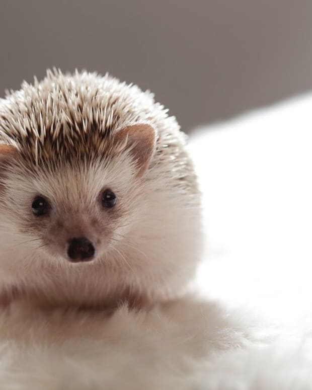 names-for-pet-hedgehogs-porcupines-and-tenrecs