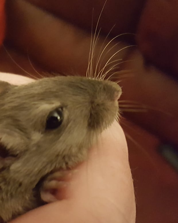 9-things-to-consider-when-buying-a-gerbil