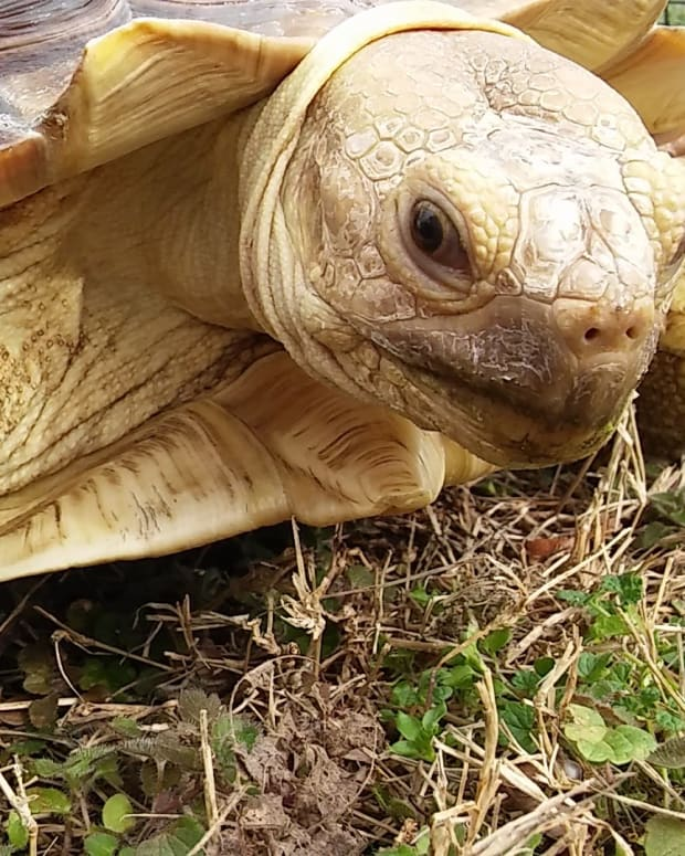 caring-for-your-sulcata-tortoise