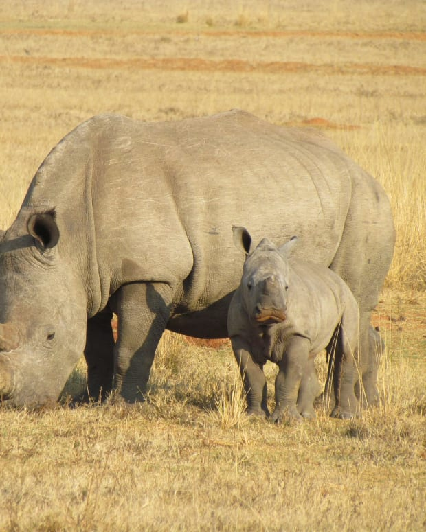 the-endangered-rhino