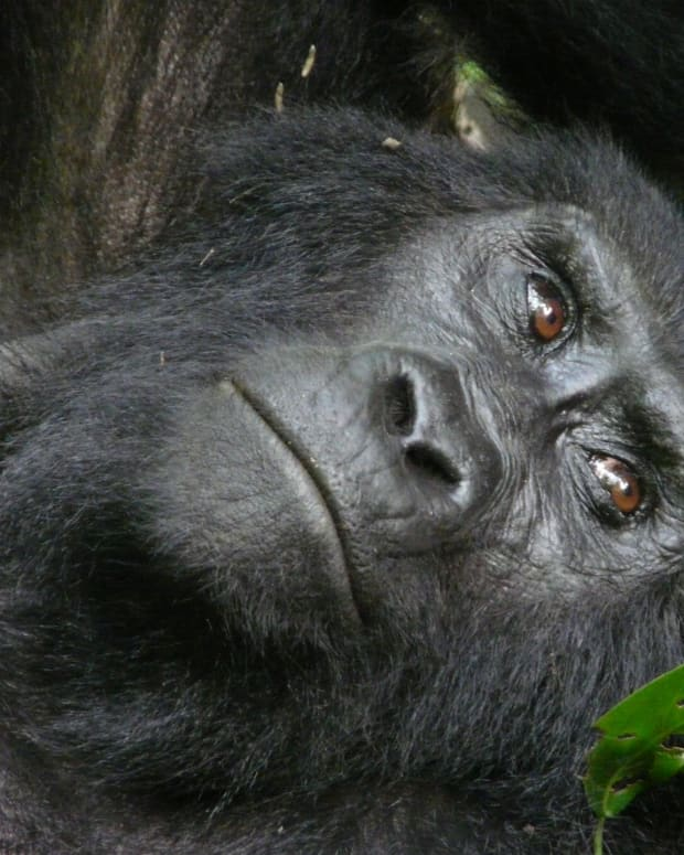 saving-the-mountain-gorilla