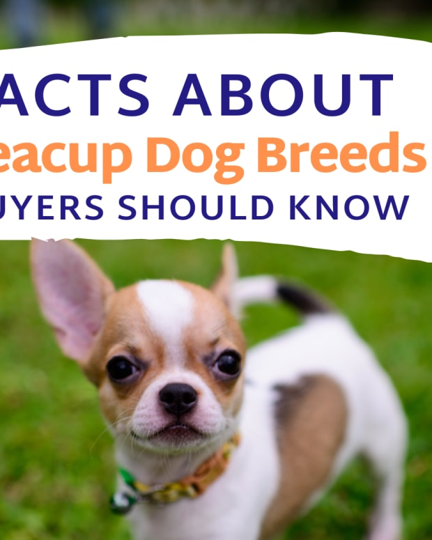 facts-about-teacup-dog-breeds