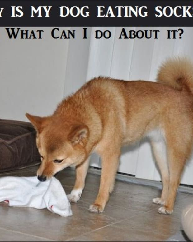 why-does-my-dog-eats-socks-and-what-can-i-do-about-it