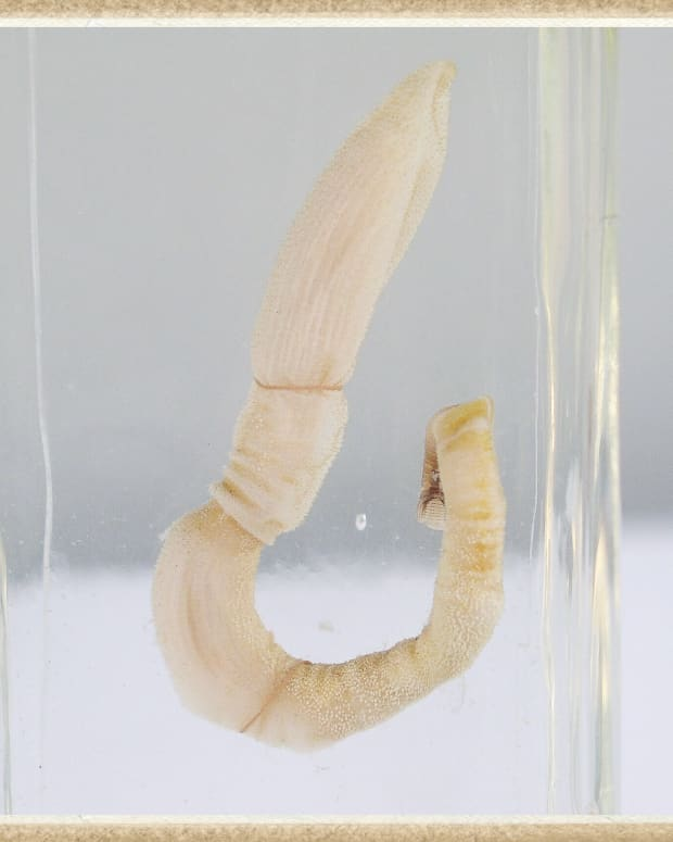 acorn-worms-and-regeneration-of-human-body-parts