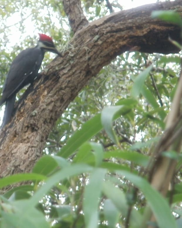 do-as-woodpeckers-do-to-achieve-your-goals