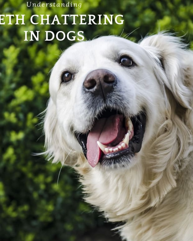 reasons-why-your-dog-is-chattering-his-teeth