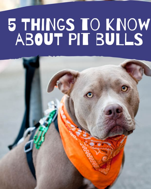 why-pitbulls-are-the-worst-dogs-to-have