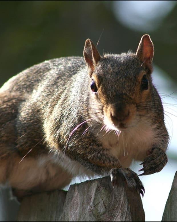 squirrel-hunt