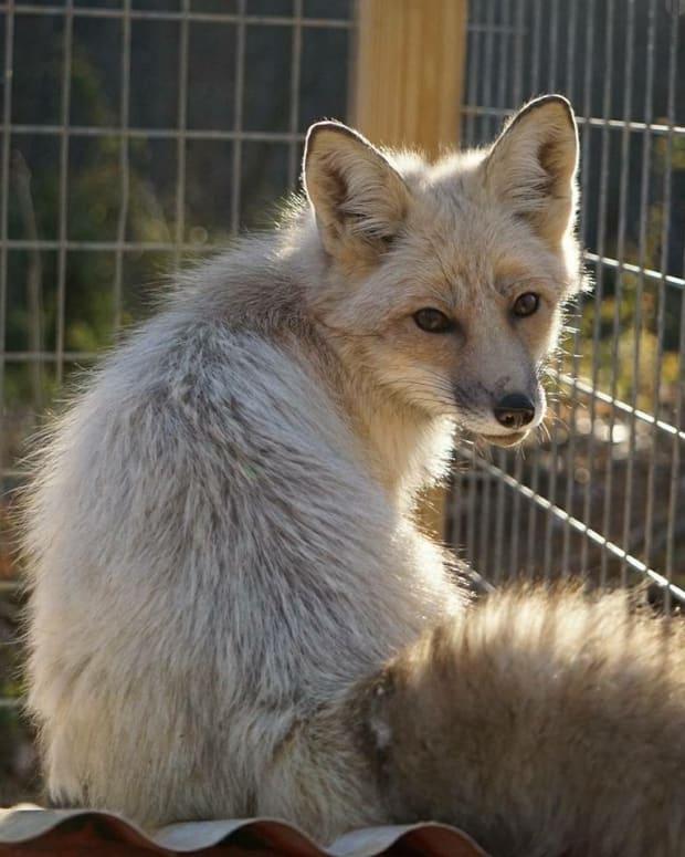 pet-fox-care-the-basics