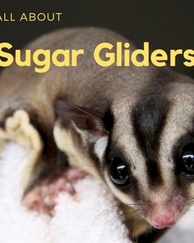 sugar-gliders-general-info-and-pet-keeping