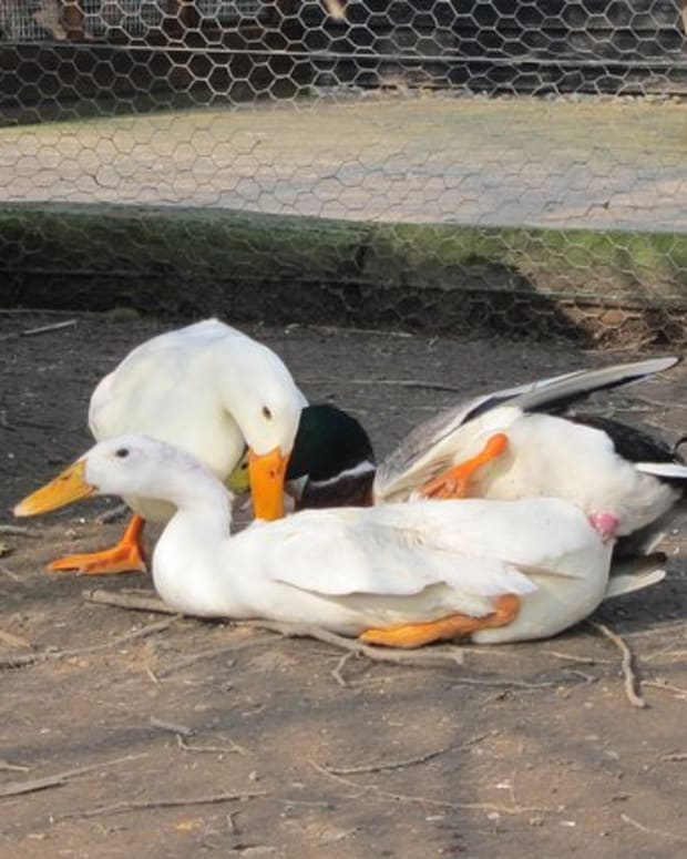 breeding-ducks