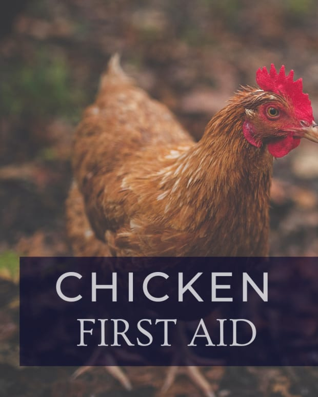 how-to-care-for-an-injured-chicken
