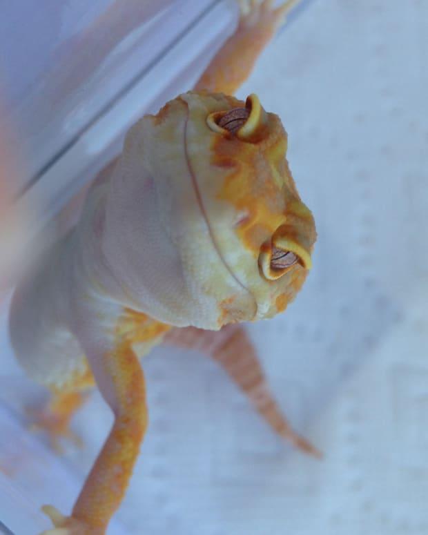basics-of-setting-up-a-leopard-gecko-habitat