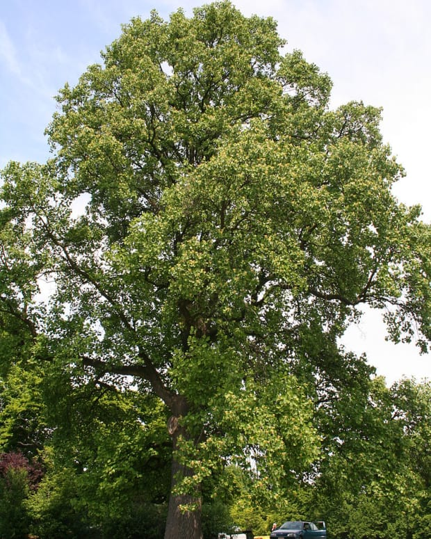 tulip-poplar-tree-facts-uses-and-planting-tips