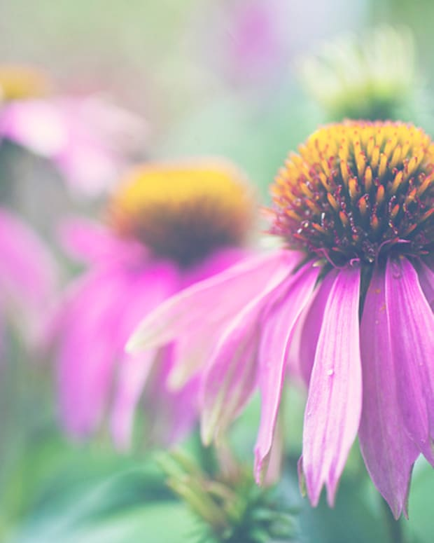 echinacea-how-to-grow-purple-coneflower-and-use-it-for-herbal-remedies