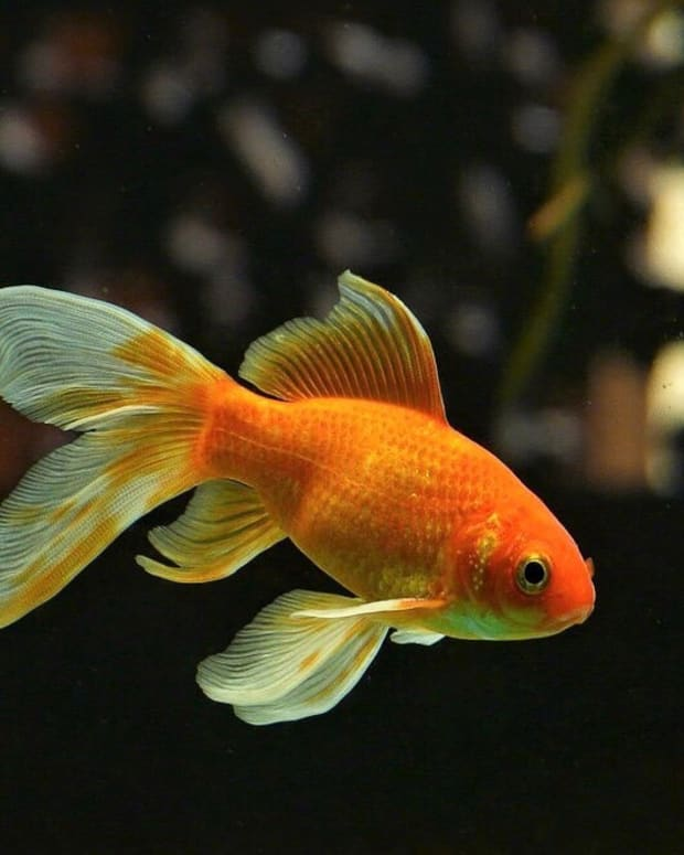 goldfish-interesting-and-surprising-facts-about-a-popular-pet