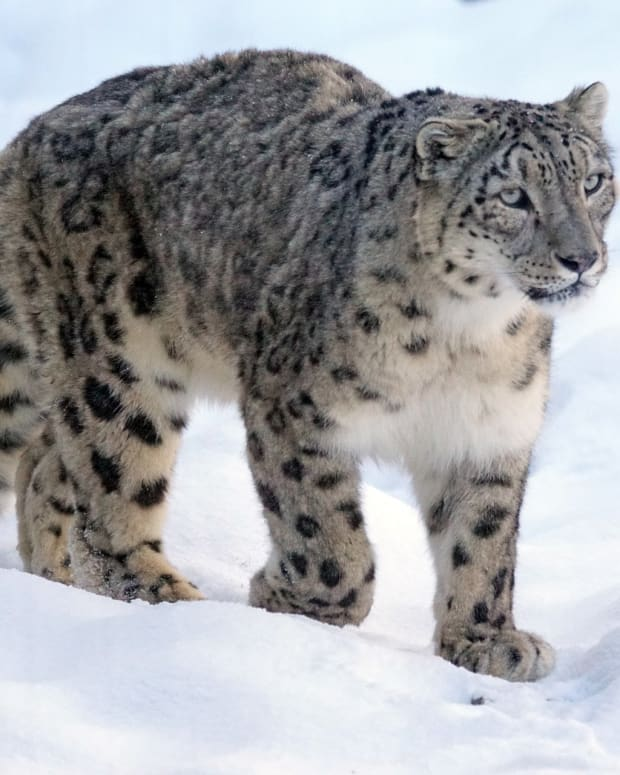 the-elusive-snow-leopard