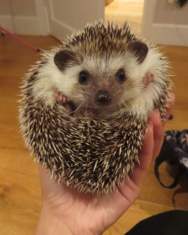 pygmy-hedgehog-diet-how-to-feed-them-properly