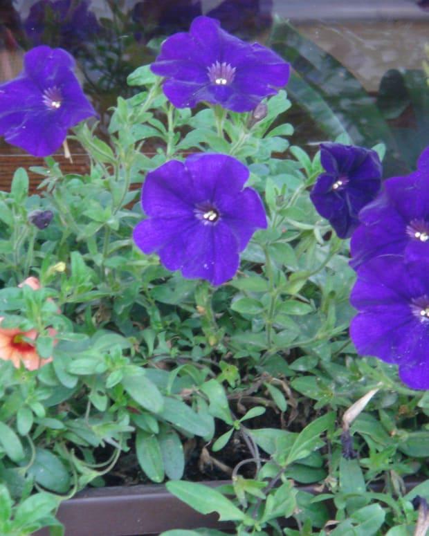 violets-eyes