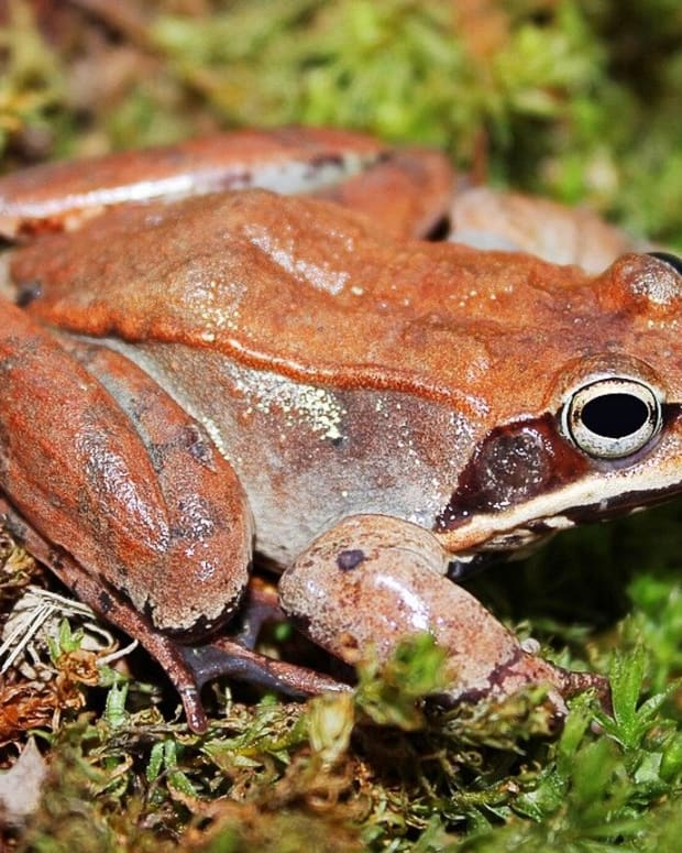 frozen-wood-frogs-and-adaptations-for-survival