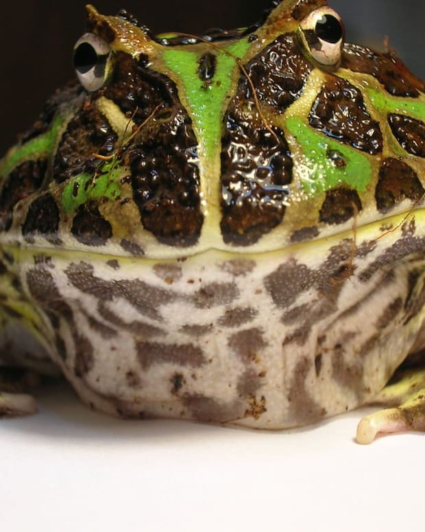 pacman-frog-ornate-horned-frog-care