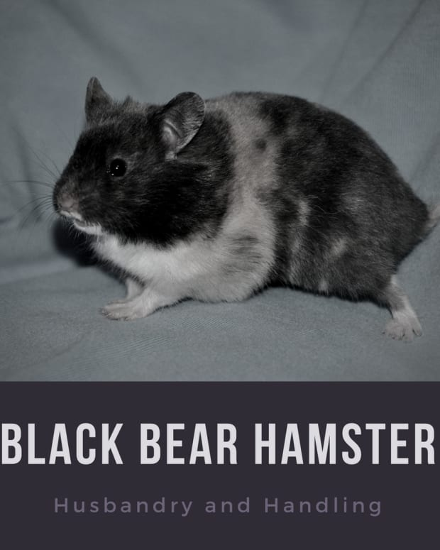 black-bear-hamsters