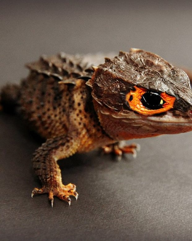 lizards-that-look-like-dragons