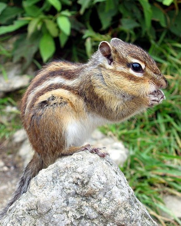 invasive-species--chipmunks-in-france