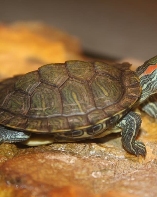 red-eared-slider-turtle-care