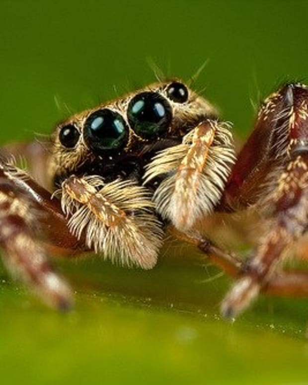 the-portia-spider