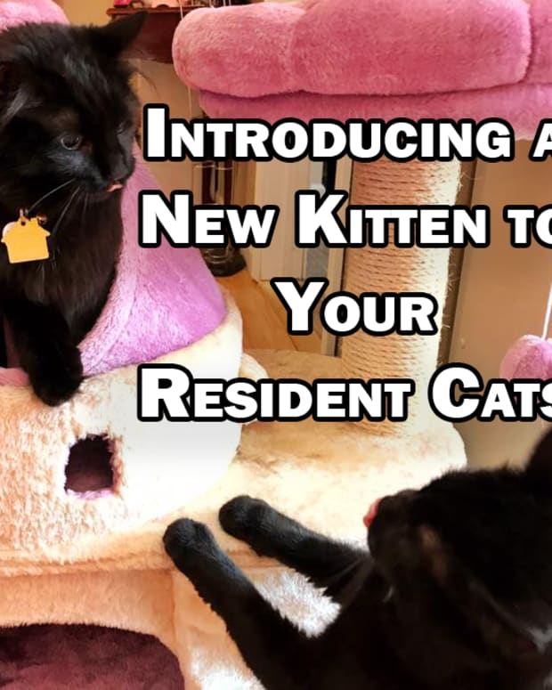 introducing-a-new-kitten-to-your-resident-cats