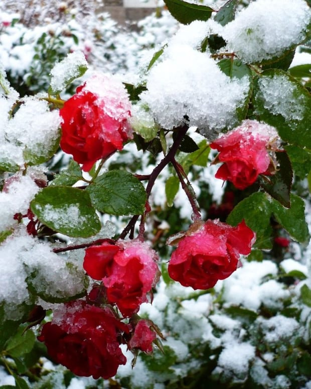 snow-upon-the-roses