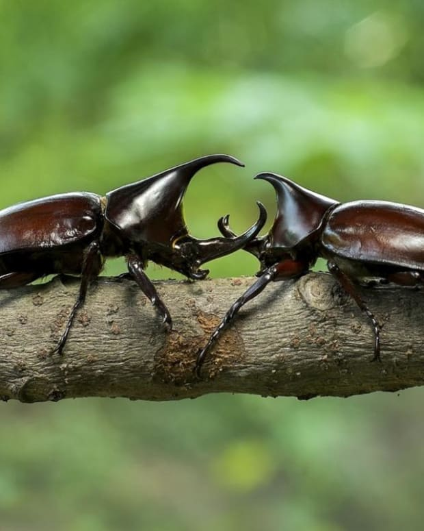 hercules-beetles