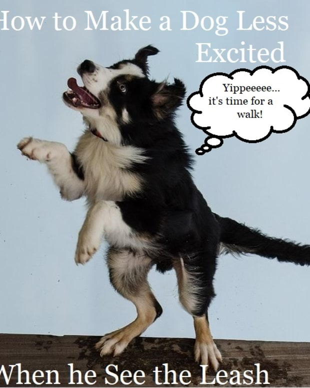does-your-dog-get-too-excited-when-he-sees-the-leash