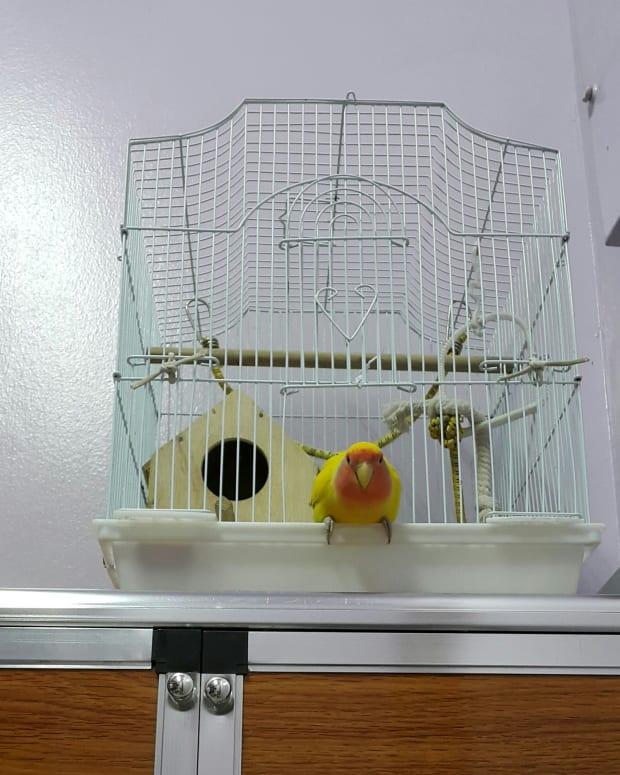 how-to-put-lovebirds-back-in-cage