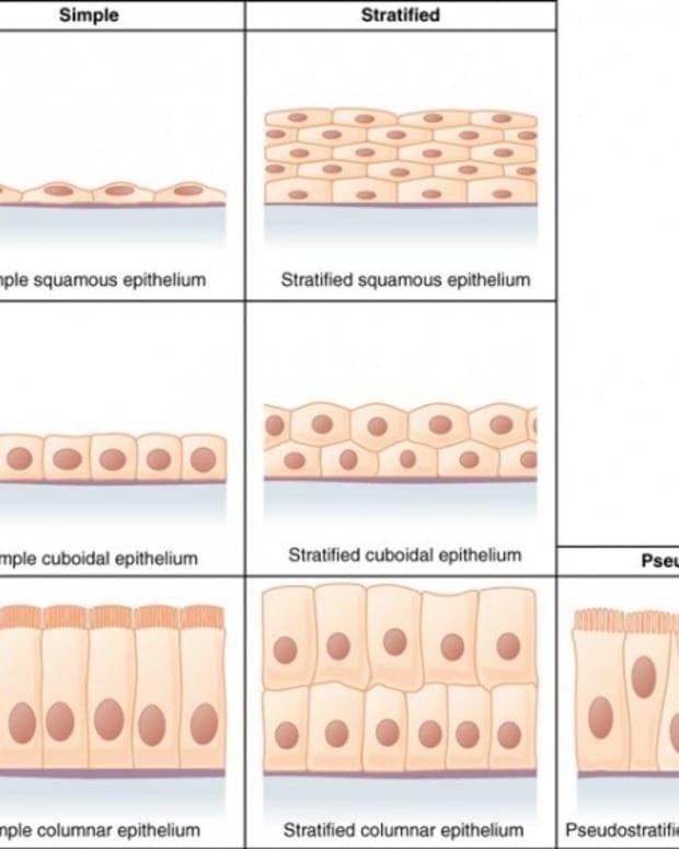 epithelial-tissue