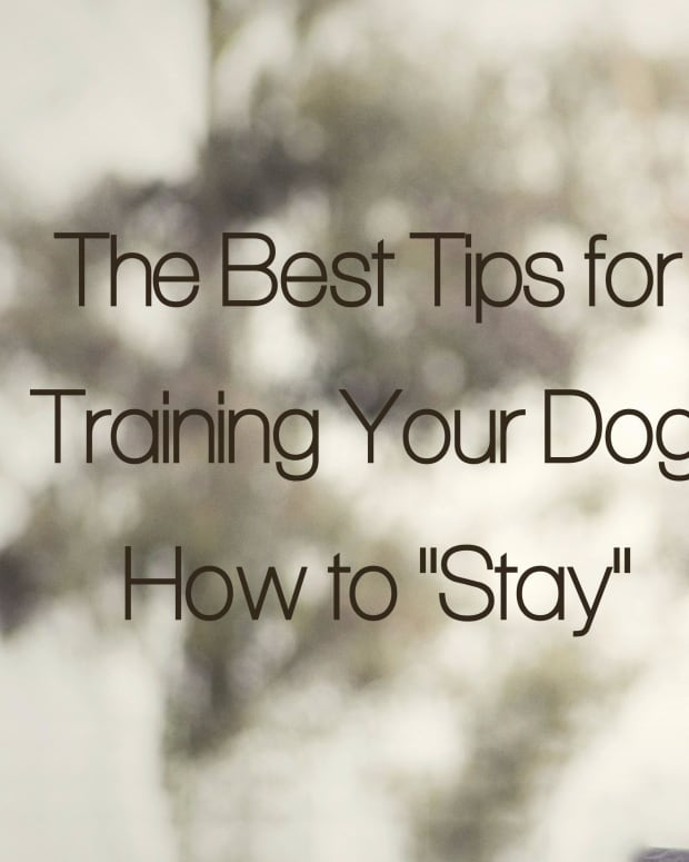how-to-train-your-dog-a-rock-solid-stay