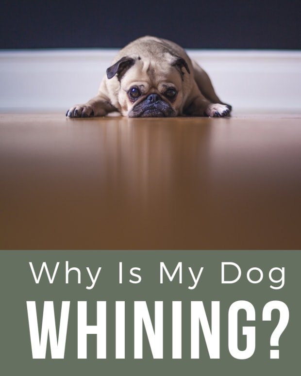 how-do-you-get-a-dog-to-stop-whining