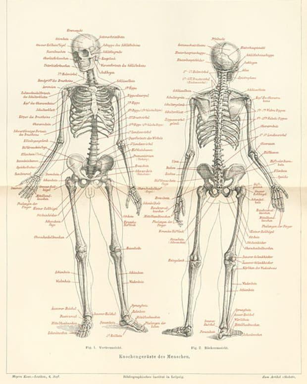 anatomy-limerick