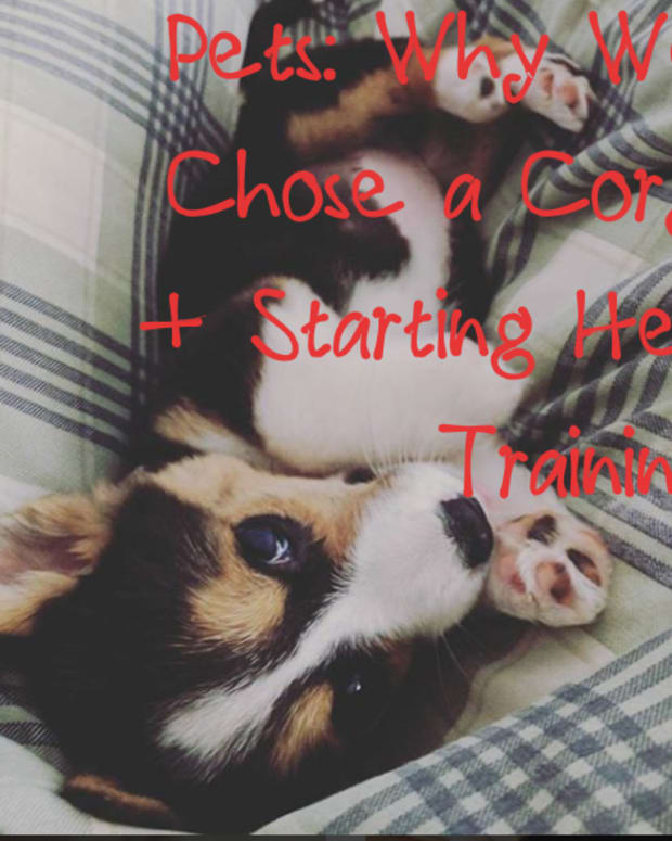 pet-care-raising-a-corgi-puppy