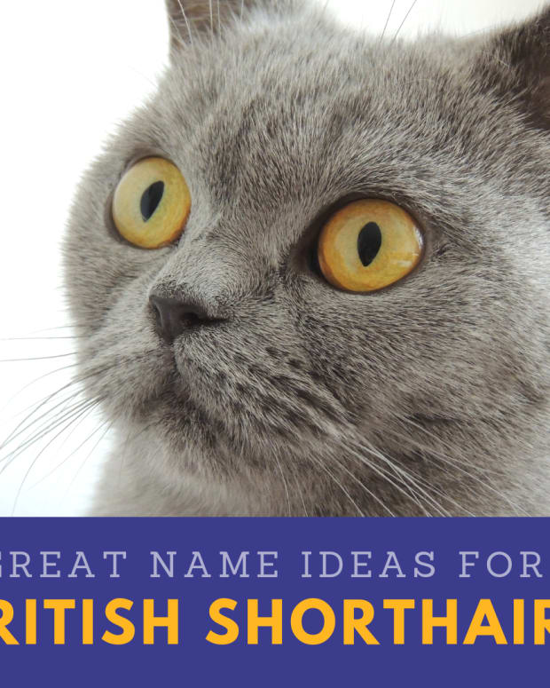20-great-names-for-your-british-shorthair-cat-from-british-literature-mythology-and-folklore