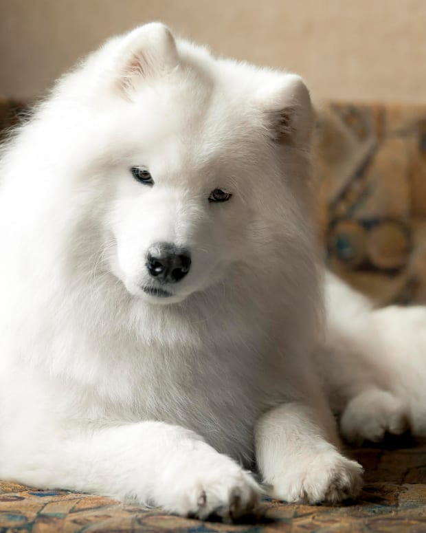 the-samoyed-snow-dog-in-winter-and-in-summer